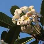 プルメリア 花の姿 (白花)