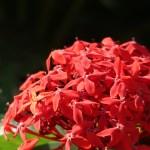 サンタンカ 花の姿