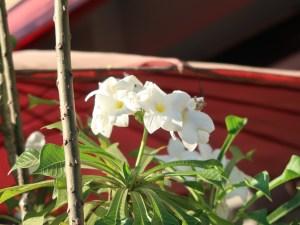 プルメリア プディカ 花の様子