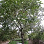 オニグルミ 木の様子