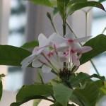 コプシア 花の様子