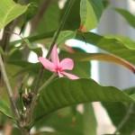 コプシア 花の咲いている様子