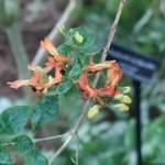 ルッティアフルティコサ 花の様子