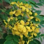 Cassia nii's gold/ カッシア ニイイズゴールド 花の様子