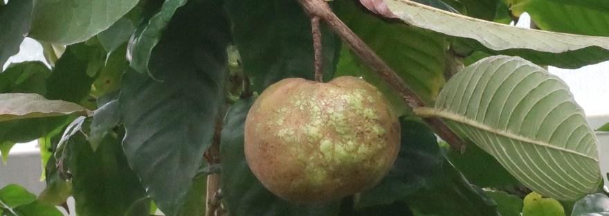 Guava/ グアバ
