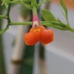 エピデンドラム Epi psudepidendrum
