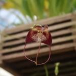 ドラクラ Drac. Polyphemus 花の姿
