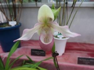 フラグミペディウム  Phrag Sedenii 花の姿