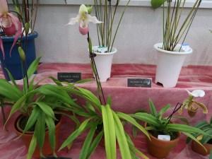 フラグミペディウム  Phrag Sedenii 花の咲いている様子