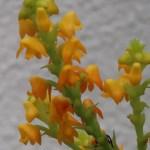 ポリスタキア Pol. clareae