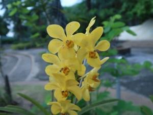 バンダ又は近縁種? 黄色の花