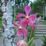バンダ又は近縁種? ピンク色の花