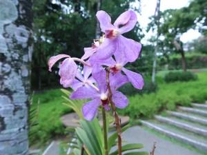 バンダ又は近縁種? 藤色の花