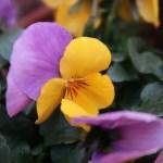 パンジー ビオラ 花の姿