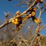 マンサク 品種名:オレンジ・ビューティ 咲き始めの花