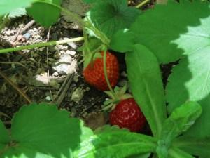 イチゴ 実の様子