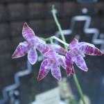 コチョウラン Phal. lueddemanniana