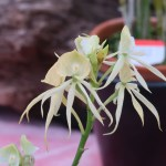 Appendage orchid /Prosthechea/ プロステケア