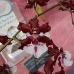 オンシジューム Onc. Sharry Baby Sweet Fragrance