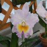 カトレア交雑種 リンコレリオカトレヤ Rlc. California GIrl 'Orchid Library'