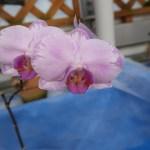 コチョウラン Phalaenopsis Phal. Meddy 'Arrow'