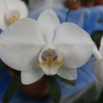コチョウラン Phal. amabilis