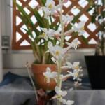 ホンコンシュスラン 花の様子