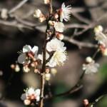 ウメ 花の様子 品種 小梅系