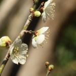 ウメ 花の姿 品種 青軸