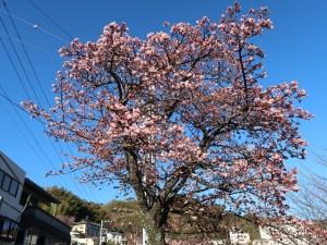 アタミザクラ 花の咲いている木の姿(四分咲きくらい)