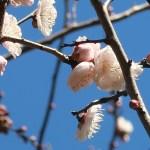 ウメ 花の姿 品種 故郷の錦