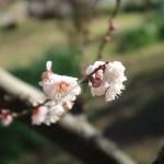 ウメ 花の様子 品種 林州