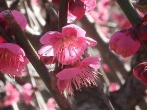 ウメ 花の姿 品種 大盃