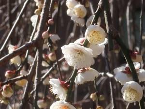 ウメ 花の姿 品種 玉垣枝垂