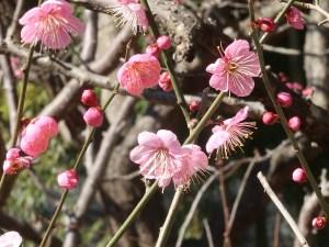 ウメ 花の様子 品種 道知辺