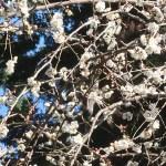 ウメ 花の様子 品種 満月枝垂