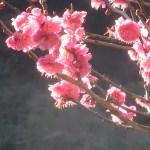 ウメ 花の様子 品種 緋の司