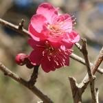 ウメ 花の姿 品種 紅千鳥