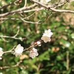 ウメ 花の様子 品種 鶯宿