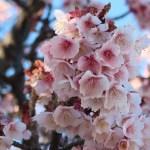 アタミザクラ 花の姿