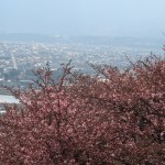 カワヅザクラ 花の咲いている様子