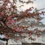 カワヅザクラ 花と小田原城
