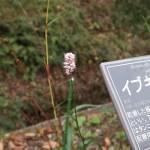 イブキトラノオ 花の様子