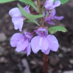 Rose balsam/ ホウセンカ 花の様子