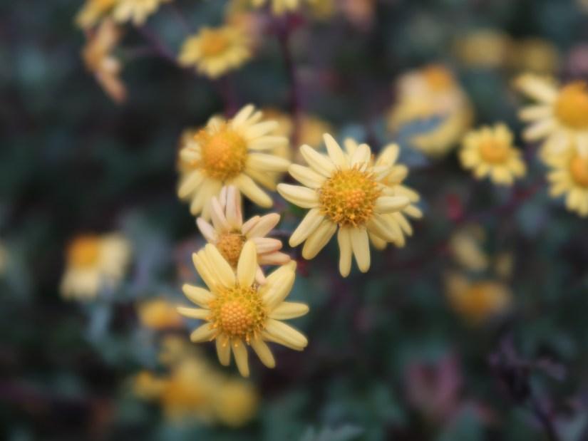 Indian chrysanthemum/ シマカンギク
