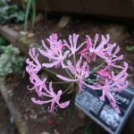 Nerine undulata/ ヒメヒガンバナ 花の姿