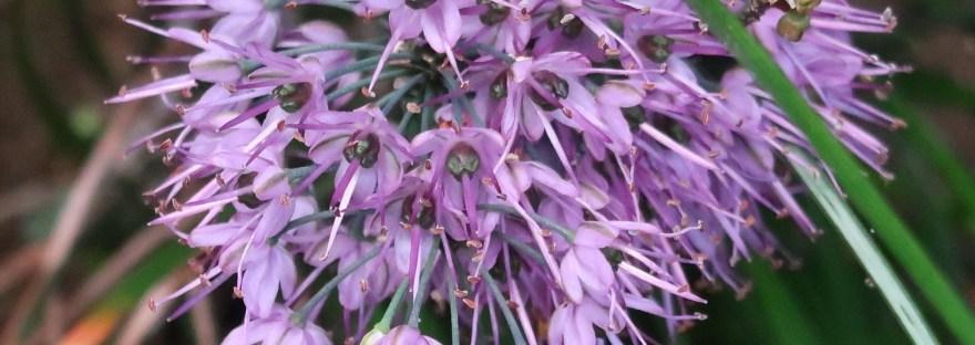 Allium kiiense/ キイイトラッキョウ