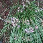 Allium virgunculae/ イトラッキョウ 花の咲いている様子