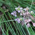 Allium virgunculae/ イトラッキョウ 花の姿