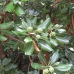 Japanese pittosporum/ トベラ 若い実